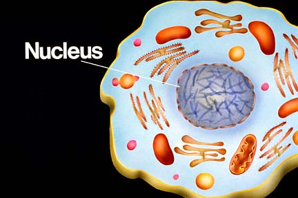 structure and function of nucleus in the cell - notes for pakistan, Human Body