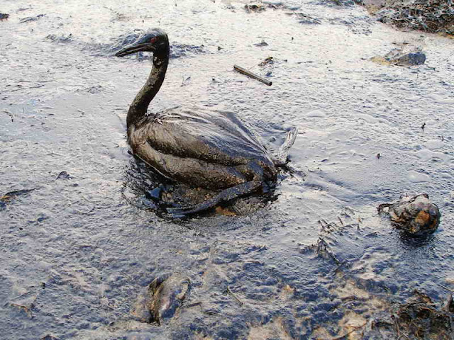 Oiled Bird   Black Sea Oil Spill 111207 Cartas do fim do mundo ?