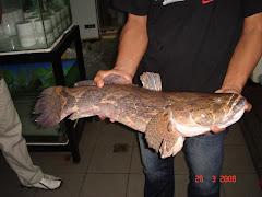 ketutu serawak (3.6kg)