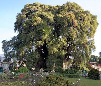 18 Foto Pohon Aneh di Dunia - Terbaru 2014