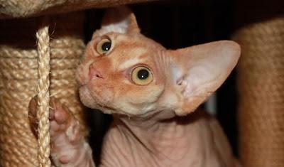 Devon Rex, kot bez włosów, nietypowy kot
