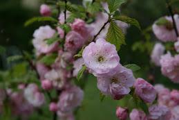 Mitt Blommande Träd