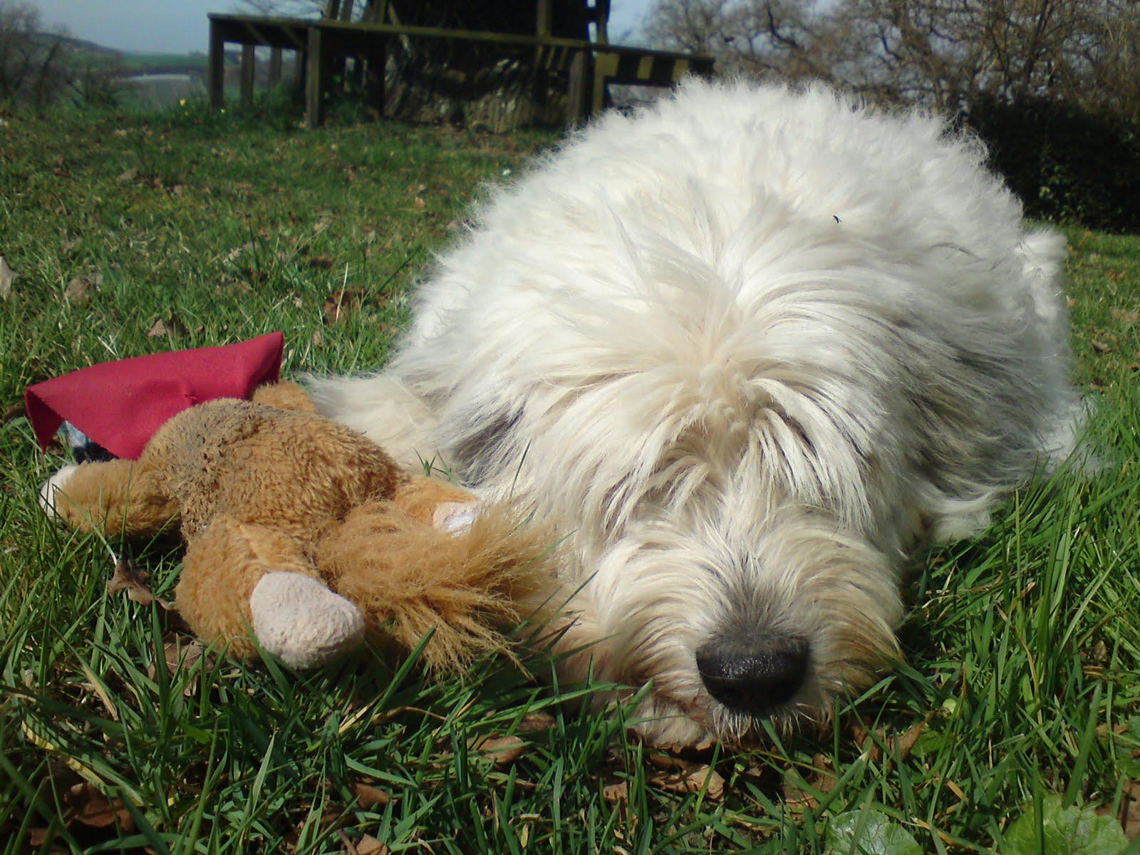 ... breeds black shaggy dog breeds shaggy dogs medium shaggy dog breeds