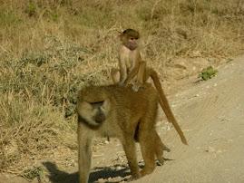 Baboons at Amboseli