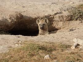 Baby Hyena in Amboseli