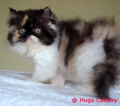 Macam Kucing Persia