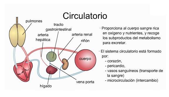 porcinos: Anatomia del cerdo