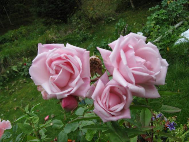 Siste roser for i år;0(