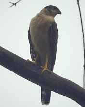 Bombachinha grande (<i>Accipiter bicolor)</i>