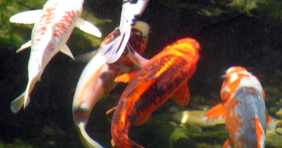 Aquatic connections when can koi goldfish be moved from for Koi und goldfisch