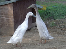 Lavender Indian Running Ducks