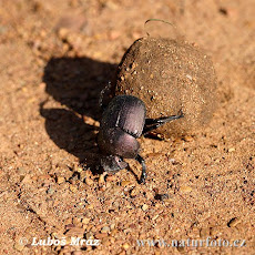 / Sing in Praise of Dung Beetles/CK on China&#39;s Despotic Culture