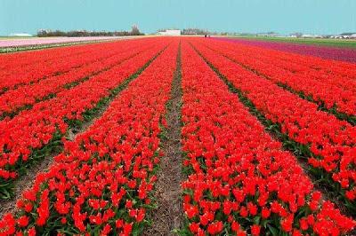 Tulip fields Netherlands
