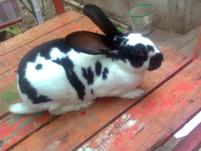 pakan kelinci