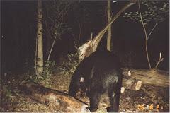 Nocturnal Bear
