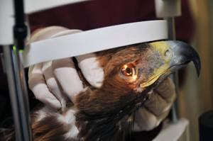 Golden eagle getting an eye exam