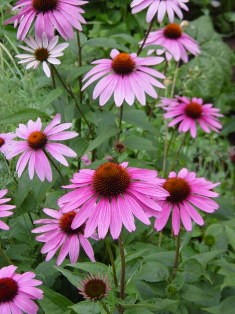 wyldestone cottage herb of the week echinacea. Black Bedroom Furniture Sets. Home Design Ideas