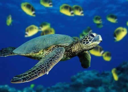 Cómo nadan las tortugas marinas? | Universo Animal