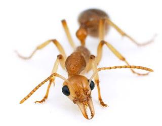 Ant نملة