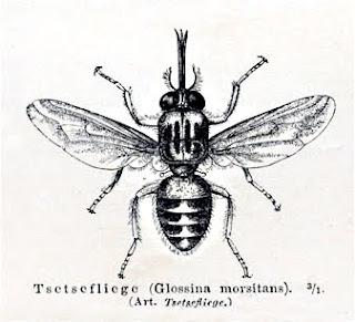 Tsetse fly ذبابة التسي تسي