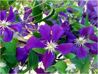 2 sous de violettes