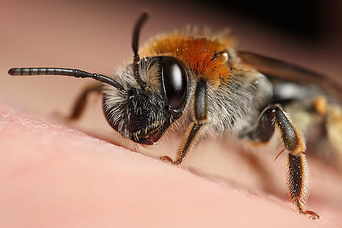 Cold miner bee Macro Photography