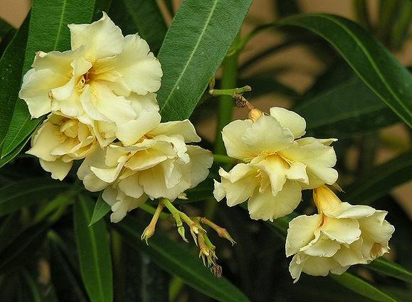Giardinauta oleandro giallo a fiore doppio for Oleandro riproduzione