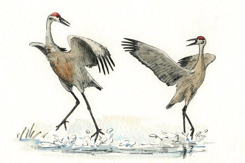 Sandhill Crane Drawing  Sandhill Crane ...