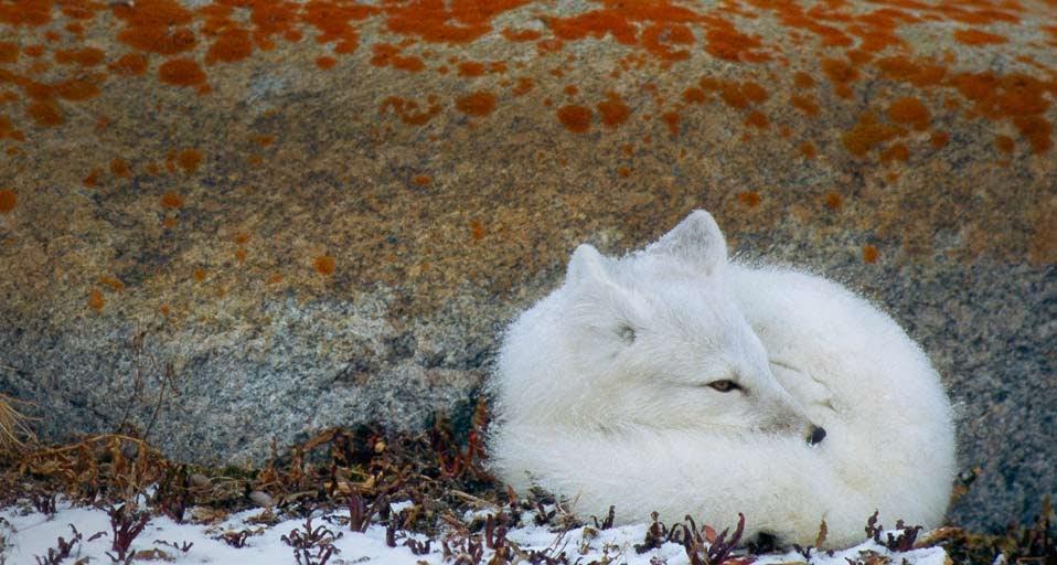 Arctic Fox round behind the