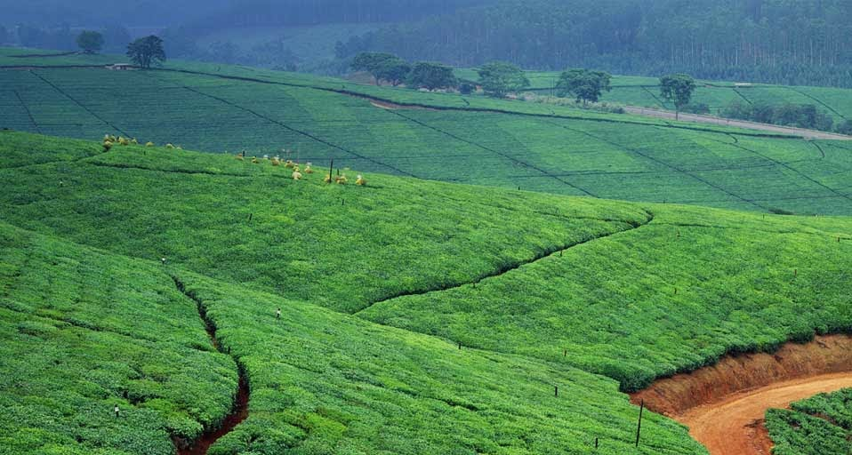 Tzaneen South Africa  City new picture : Tea Plantation Near Tzaneen Town , South Africa