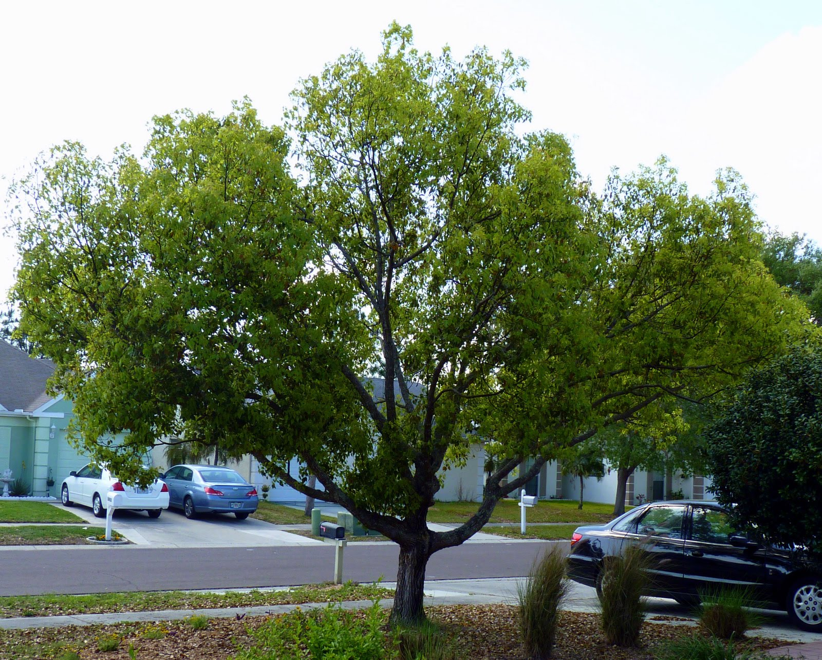 Nice Trees For Yards : it turns out our tree is a camphor tree cinnamomum
