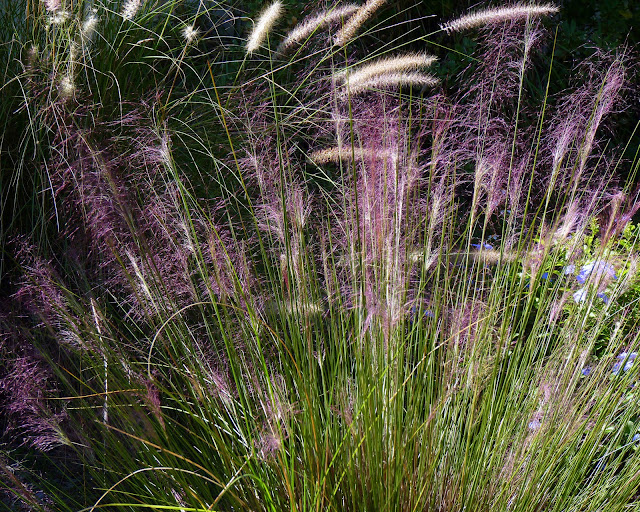 Ornamental Grasses Zone 7 Focus on natives muhly grass birds and blooms this is a very overlooked native that should be more readily available outside native plant nurseries in zones 7 10 its drought tolerant and happy in workwithnaturefo