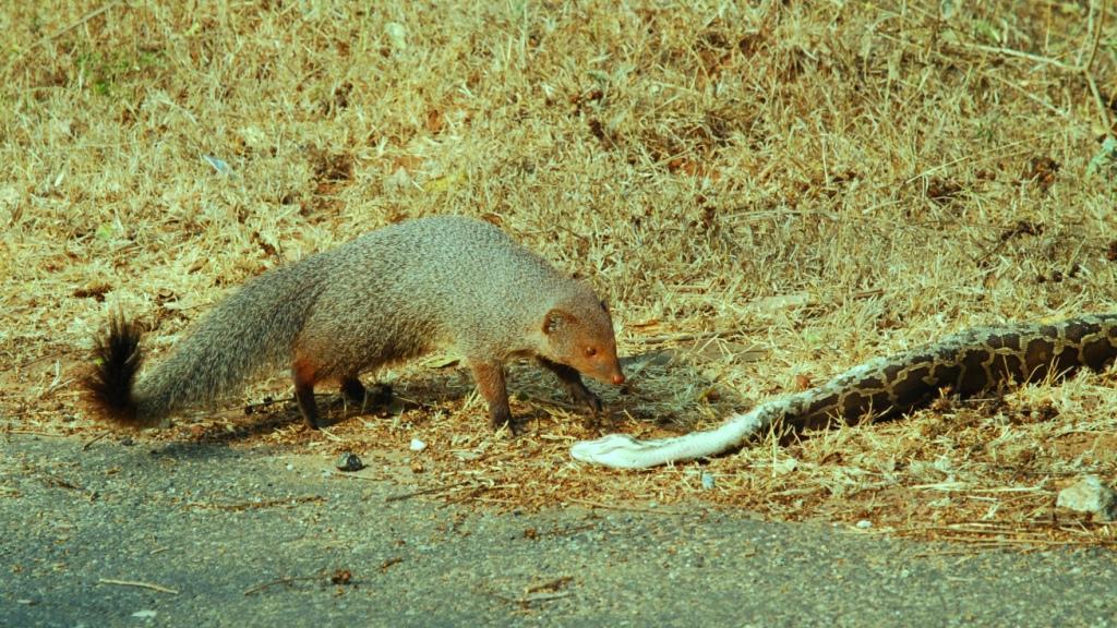 Amaizing Animal Facts Snakes Fight Mongoose
