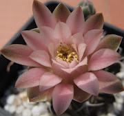 Gymnocalycium mihanovichii de flor rosa. Posted in Floraciones cactus 2010, . (gymnocalycium mihanovichii de flor rosa flor )