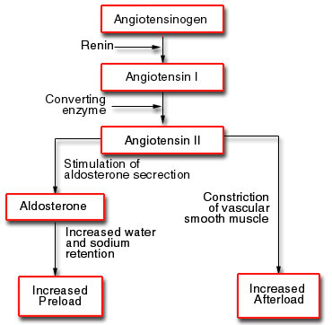 adh aldosterone extracellular fluid ecf balance Excessive loss of water from the extracellular fluid (ecf) leads to a rise in osmotic pressure in the ecf which causes cells to shrink as water leaves by osmosis true when aldosterone release is inhibited, sodium reabsorption cannot occur beyond the distal convoluted tubule.