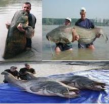 ikan keli besar