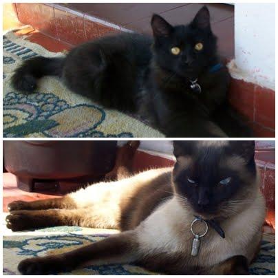 Meus gatos