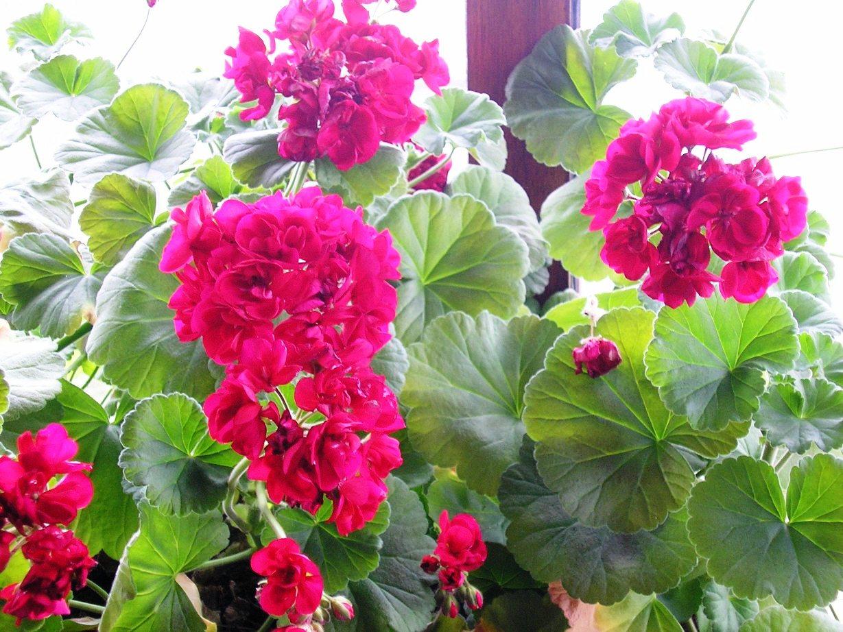 in m jn tuin achter de geraniums schijnt de zon. Black Bedroom Furniture Sets. Home Design Ideas