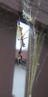 spider tummy view