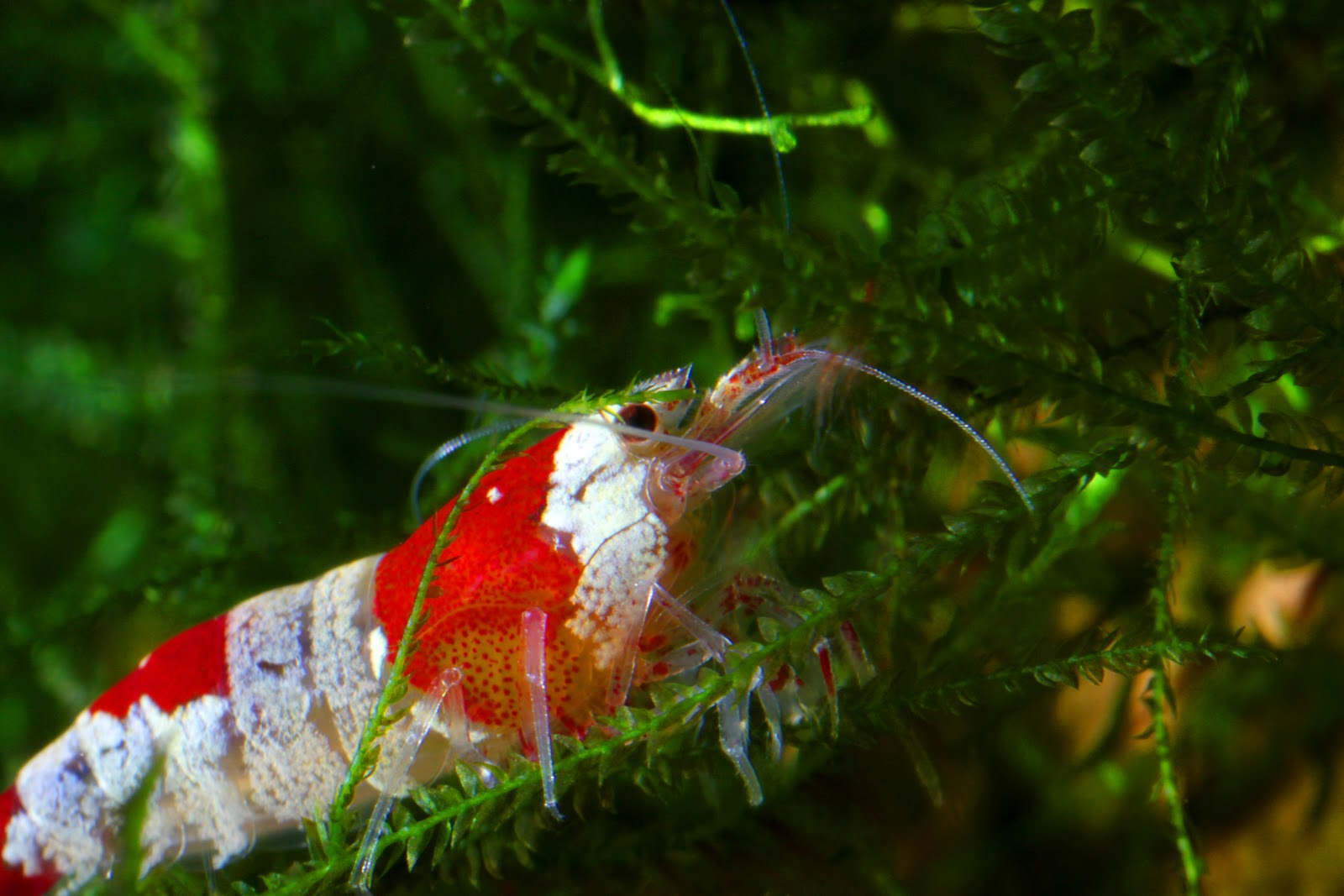 My Learning Experience: Red Cherry Shrimps and Red Crystal Shrimp