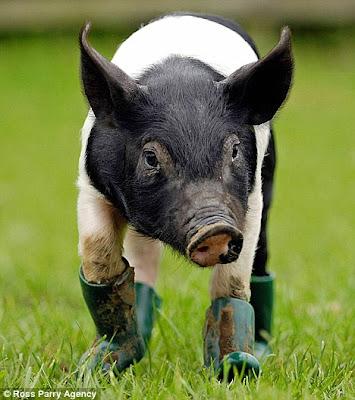 Le cochon le plus mignon de l'univers