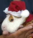 Cochon d'Inde Noël