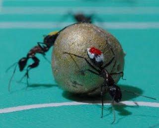 Fourmi ball