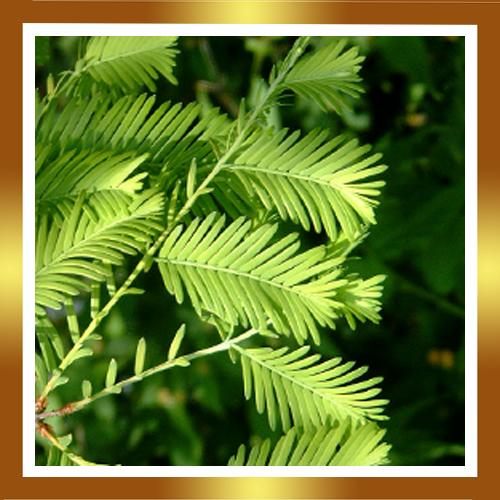 de hojas caedizas sequoia del alba abeto de agua falsa secuoya familia ...
