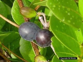 Herban rio virtual for Frutas ornamentales