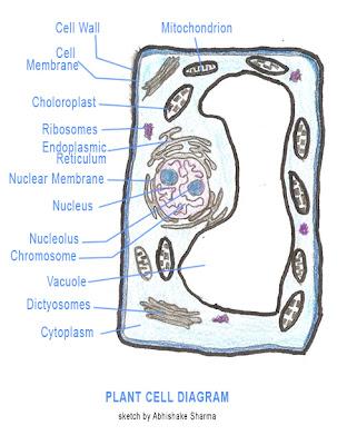 Animal Cell Diagram Animal Magazines