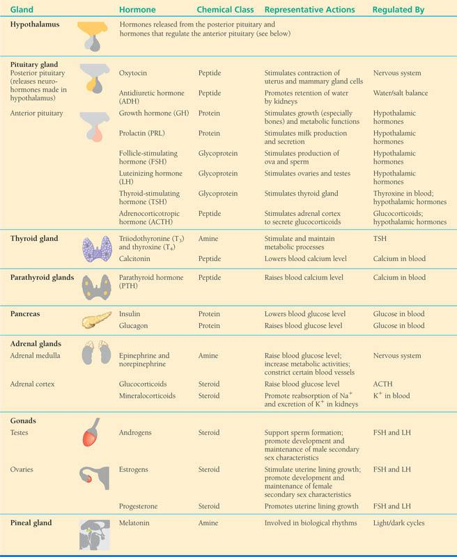Endocrine Glands And Their Hormones