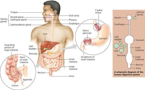 Rozaini othman guru cemerlang biologi human digestive system human digestive system ccuart Gallery