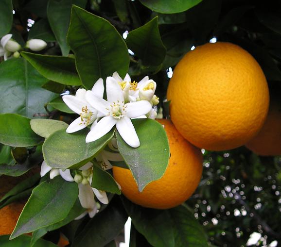 http://1.bp.blogspot.com/_hiUJJobB8kc/THqqs7hdmQI/AAAAAAAACfg/iIgpTCTFa9Q/s1600/OrangeBloss_wb.jpg