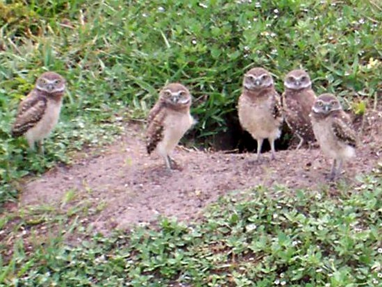 Small Owls Florida http://eikaiwa-blog.blogspot.com/2010/09/burrowing-owls.html